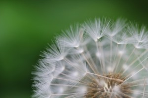 dandelion_seeds_macro_238806